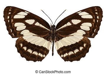 "borboleta, hylas, neptis, ""common, sailer"", espécie"