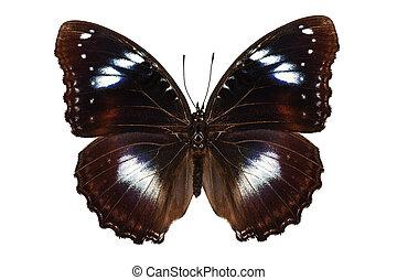 "borboleta, hypolimnas, eggfly"", bolina, ""great, espécie"