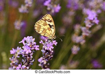 borboleta, ligado, florescer, lavanda, flores, closeup