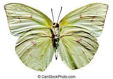 borboleta, limão, emigrant
