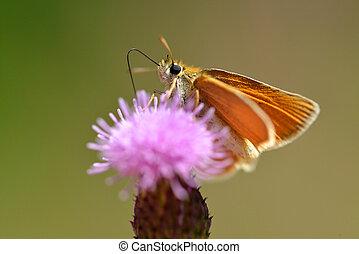 borboleta, lineola), essex, pequeno, (thymelicus, capitão,...