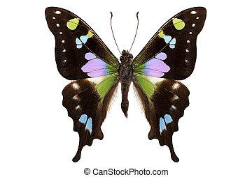 "borboleta, manchado, graphium, swallowtail"", weiskei, ""purple, espécie"