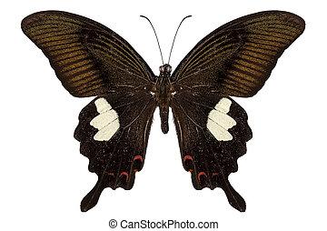 borboleta, marrom, papilio, nephelus, pretas, espécie