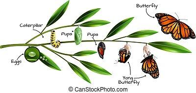 borboleta, metamorfose, composição