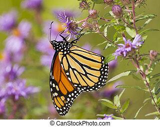 borboleta, monarca, aster, polinizando