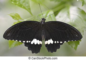 borboleta, mormon, comum