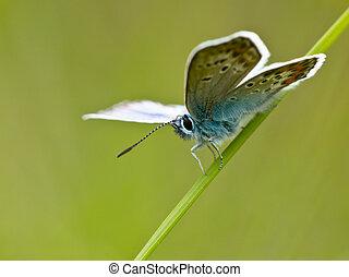 borboleta, natural, habitat