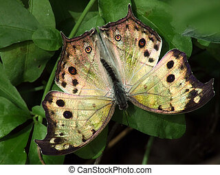 borboleta, pérola, mãe