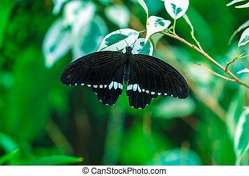 borboleta, (papilio, mormon, comum, polytes)