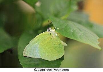 borboleta, pomona