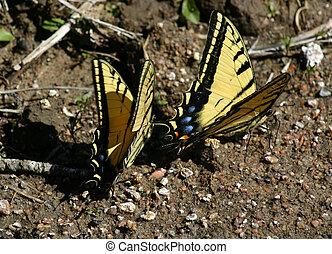 borboletas, 4545