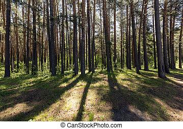 bord, forêt, pin