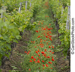 Bordeaux wine region in france poppies in the vineyard countrysi