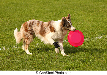 Border collie - A picture of a border collie catching pink...