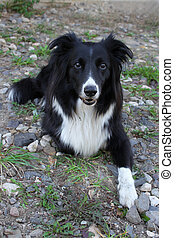 Border Collie - Black and white border collie sitting on...