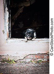 Border Collie Breed Rescue Dog Jumps Out Of Window