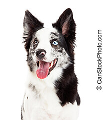 Border Collie Closeup Looking to Side