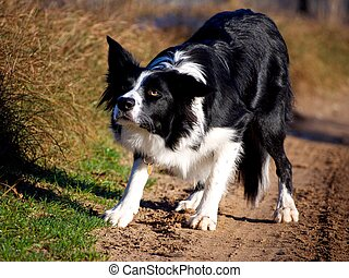 Border collie crouching ready to run