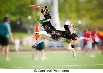 border collie dog catching the flying disc