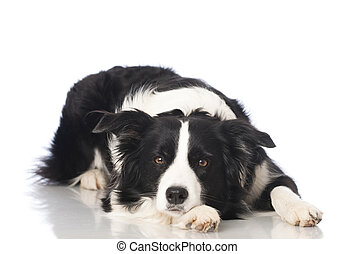 Border collie dog - Dog isolated on white background