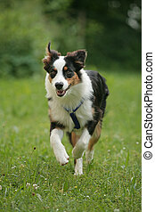 Border Collie dog in nature - Border Collie dog running...