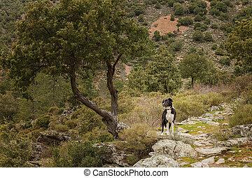 Border Collie dog in the Tartagine valley in northern ...