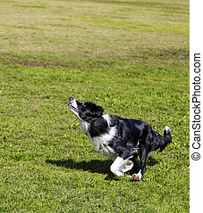 Border Collie Dog Jumping for a Toy in Park