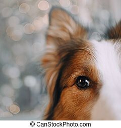 Border collie dog looking in the camera