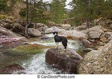 Border Collie Dog looks at Genoese bridge from large boulder in