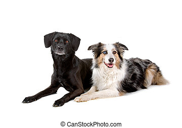 Border collie dog, mixed breed dog - Border collie dog and...