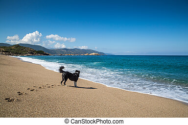 Border Collie dog on beach at Sagone in Corsica - Border...