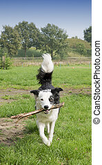 Border Collie dog outside on the grass playing with wooden...
