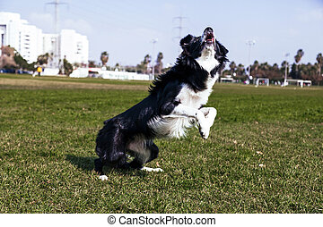 Border Collie Dog Playing in the Park