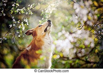 border collie dog portrait looks up in spring - border...