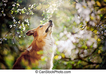 border collie dog portrait looks up on a background of white flowers in spring