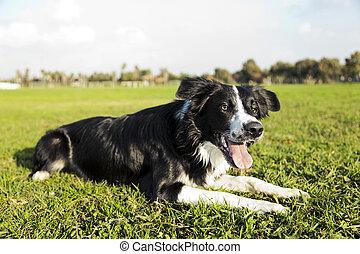 Border Collie Dog Resting on Park Grass