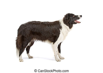 border collie dog - Side view of a Black and white border...