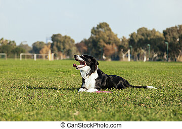 Border Collie Dog Sitting on Park Lawn