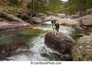 Border Collie Dog standing on boulder in mountain stream...
