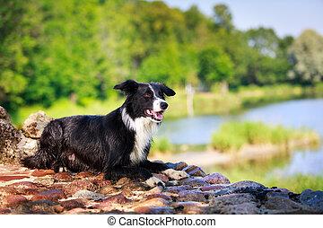 dog - Border Collie dog