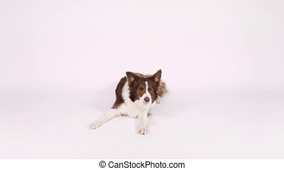 Border Collie dog tumbles on white background - A cute brown...