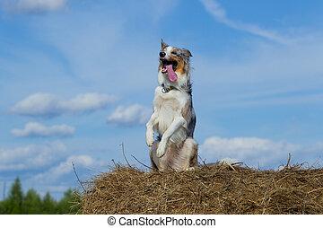 Border collie dog walking