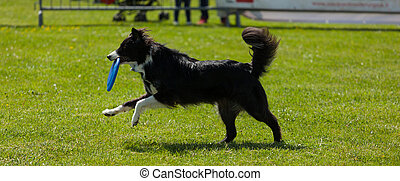 Border Collie dog with frisbee