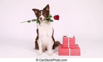 Border Collie dog with holiday gifts - Funny Border Collie...
