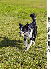 Border Collie Dog with Tennis Ball at Park