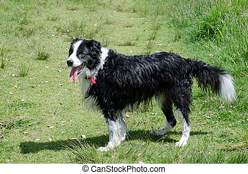 Border Collie dogs in the park.