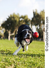 A Border Collie dog caught in the middle of catching a red rubber ball, on a sunny day at an urban park.