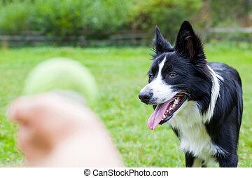Border collie herding dog breed