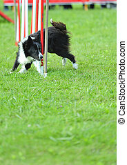 Border collie in agility test in the slalom