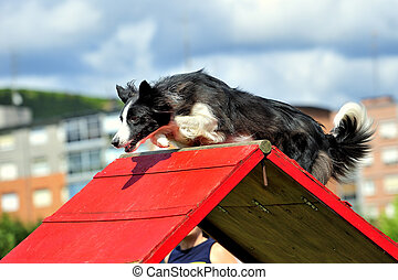BORDER COLLIE IN AGILITY CONTEST - A BORDER COLLIE...